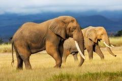 Varón grande del elefante Fotografía de archivo libre de regalías
