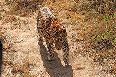 Varón grande del leopardo Fotografía de archivo