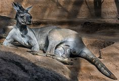 Varón gris del este del canguro Imagenes de archivo