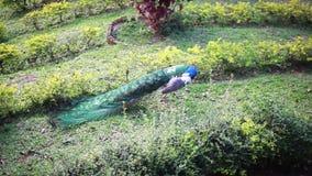 Varón hermoso del pavo real en la hierba verde en día de verano caliente 1920x1080 almacen de video