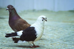 Varón hermoso y paloma femenina en el piso Imagen de archivo libre de regalías