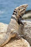 Varón, iguana en las rocas en Cabo San Lucas, México Imagen de archivo libre de regalías