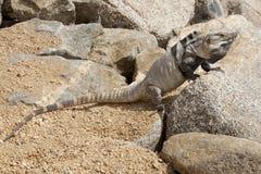 Varón, iguana en las rocas en Cabo San Lucas, México fotos de archivo libres de regalías