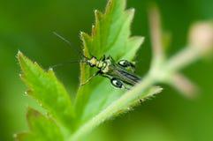 Varón invertebrado del escarabajo de la flor del retrato Imágenes de archivo libres de regalías