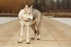 Varón joven lindo del wolfdog que escucha en el embarcadero de madera Fotos de archivo