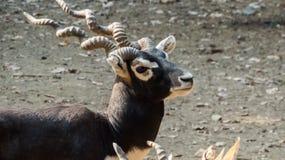 Varón la colocar-India de Blackbuck Imagen de archivo libre de regalías