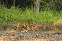 Varón maduro Tiger Walking por la selva foto de archivo