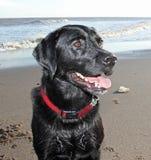 Varón negro de Labrador, Fotos de archivo libres de regalías