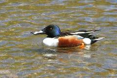 Varón norteño del pato del pato cuchara Imagen de archivo libre de regalías