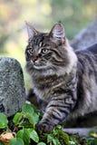 Varón noruego del gato del bosque con una expresión muy alerta Imagen de archivo