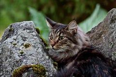 Varón noruego del gato del bosque en jardín en verano Fotos de archivo libres de regalías