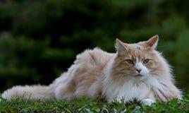 Varón noruego del gato del bosque que descansa en sombras Imágenes de archivo libres de regalías