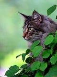 Varón noruego del gato del bosque Fotos de archivo