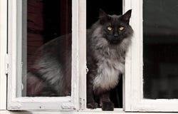 Varón noruego del gato del bosque Fotografía de archivo libre de regalías