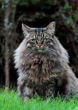 Varón noruego grande, fuerte y peludo del gato del bosque Imagen de archivo