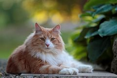 Varón noruego grande y fuerte del gato del bosque que descansa en un jardín Fotografía de archivo