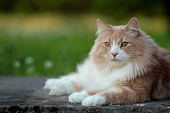 Varón noruego grande y fuerte del gato del bosque que descansa en un jardín Fotos de archivo