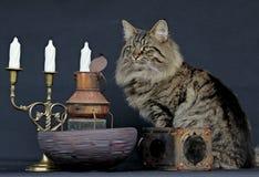 Varón noruego joven del gato del bosque con las linternas oxidadas y Foto de archivo libre de regalías