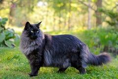 Varón noruego joven del gato del bosque que se coloca en el jardín Imagen de archivo