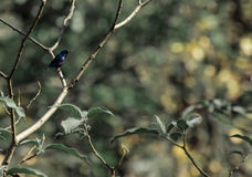 Varón púrpura de Sunbird imagenes de archivo