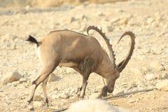 Varón salvaje del cabra montés de Ein Gedi en el desierto de Judea, Tierra Santa imagenes de archivo
