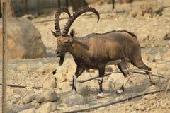 Varón salvaje del cabra montés de Ein Gedi en el desierto de Judea, Tierra Santa fotos de archivo
