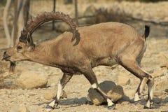 Varón salvaje del cabra montés de Ein Gedi en el desierto de Judea, Tierra Santa imagen de archivo libre de regalías
