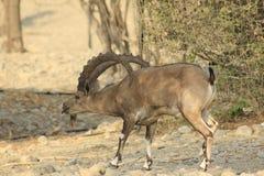 Varón salvaje del cabra montés de Ein Gedi en el desierto de Judea, Tierra Santa fotos de archivo libres de regalías