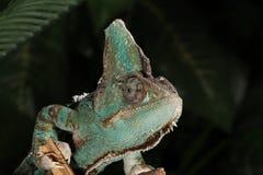 Varón velado del camaleón - calyptratus del Chamaeleo Foto de archivo libre de regalías