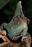 Varón velado del camaleón - calyptratus del Chamaeleo Imagen de archivo