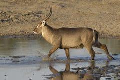Varón Waterbuck común, Suráfrica Foto de archivo libre de regalías