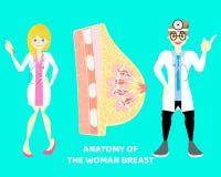 varón y doctor de sexo femenino con la entrerrosca mamaria del pecho humano, sistema nervioso de la parte del cuerpo de la anatom ilustración del vector