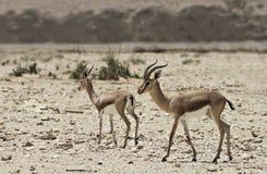Varón y hembra de Dorcas Gazelle)) en reserva de naturaleza Fotografía de archivo libre de regalías