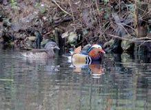 Varón y hembra del pato de mandarín fotos de archivo