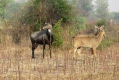 Varón y hembra del toro azul en bosque indio tropical imagenes de archivo
