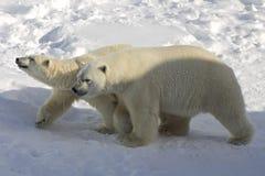 Varón y oso polar femenino, Canadá Foto de archivo libre de regalías