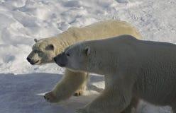 Varón y oso polar femenino, Canadá Imagen de archivo libre de regalías