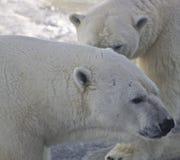 Varón y oso polar femenino, Canadá Fotografía de archivo libre de regalías
