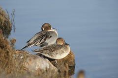Varón y patos rojizos norteños femeninos imagenes de archivo