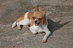Var denstorleksanpassade hunden Royaltyfria Bilder
