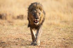 Var?n solitario del le?n que camina con la caza marr?n seca de la hierba para la comida fotografía de archivo libre de regalías