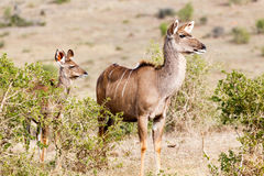 Var vi går härifrån - kvinnlign Kudu Arkivbilder