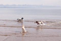 Vara brincalhão da praia dos cães Foto de Stock Royalty Free