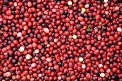 vara cranberries skördade Fotografering för Bildbyråer