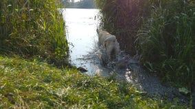 Vara de jogo do proprietário para cães no lago Labrador ou golden retriever que vão buscar a vara de madeira da água video estoque