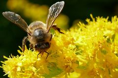 Vara de oro de Honey Bee Collecting Nectar From en Escocia Imágenes de archivo libres de regalías