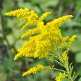 Vara de oro de la planta medicinal Imagen de archivo libre de regalías