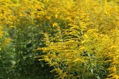 Vara de oro floreciente La solidago, o las varas de oro, es un género de las plantas florecientes en la familia de aster, Asterac Fotografía de archivo