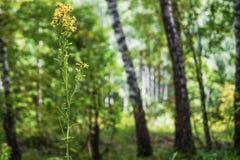 Vara de oro medicinal de la hierba en la floración en bosque del verano Foto de archivo