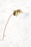 Vara de oro o virgaurea europea marchita de la solidago en nieve en invierno fotos de archivo libres de regalías